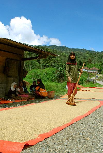 Seorang ibu di mulut jalan masuk Desa Rantau Kerma menjemur padi hibrida hasil panen mereka musim tanam 2015 (FOTO; TAN JO HANN).