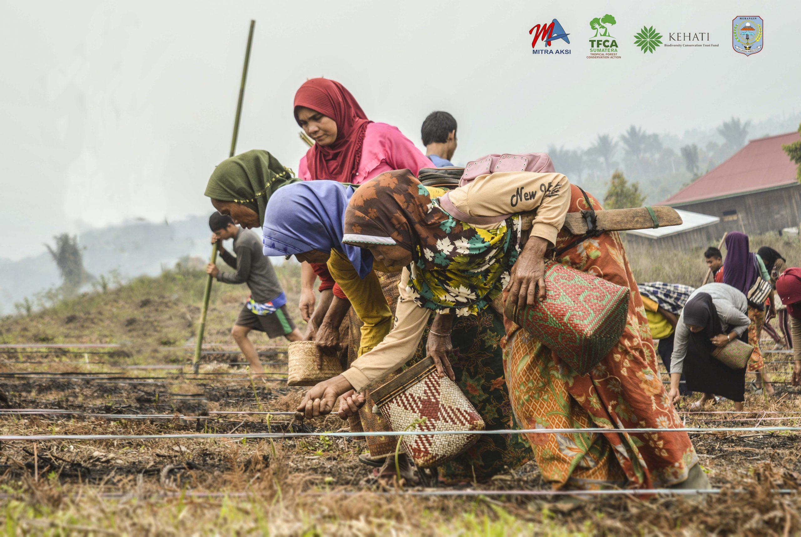 Gambar : gontong royong menanam padi ladang di Desa Renah Pelaan, Kec. jangkat - Merangin